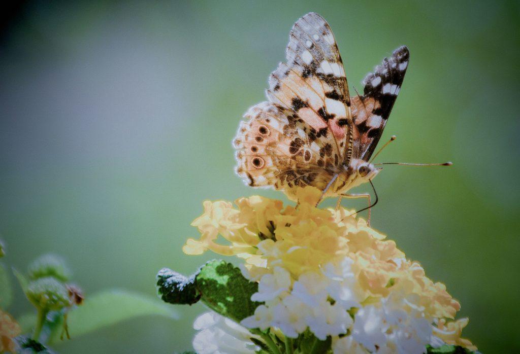 La Soulayla papillon